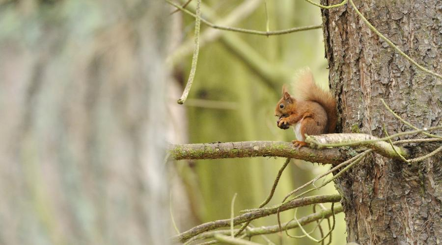 Red squirrel (Sciurus vulgaris) at Tentsmuir NNR. ©Lorne Gill/SNH. For information on reproduction rights contact the Scottish Natural Heritage Image Library on Tel. 01738 444177 or www.nature.scot