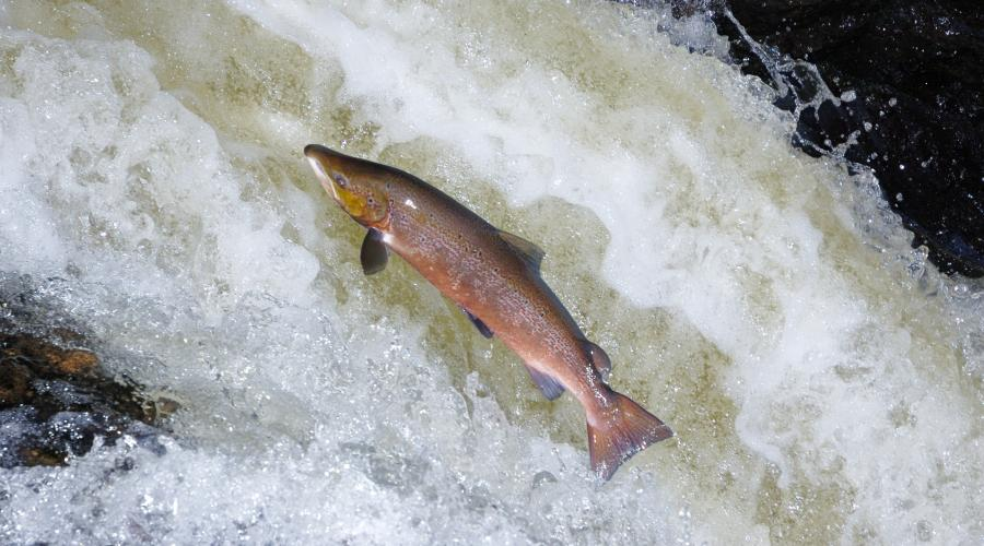 A male Atlantic Salmon (Salmo salar) leaping up a waterfall, River Almond. ©Lorne Gill/SNH . For information on reproduction rights contact the Scottish Natural Heritage Image Library on Tel. 01738 444177 or www.nature.scot