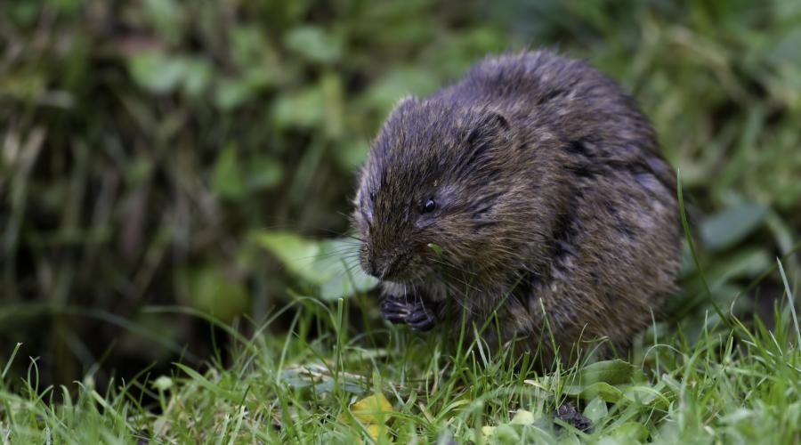 Water Vole, Arvicola terrestris. ©David Whitaker Highland Wildlife Photography. For information on reproduction rights contact the Scottish Natural Heritage Image Library on Tel. 01738 444177 or www.nature.scot