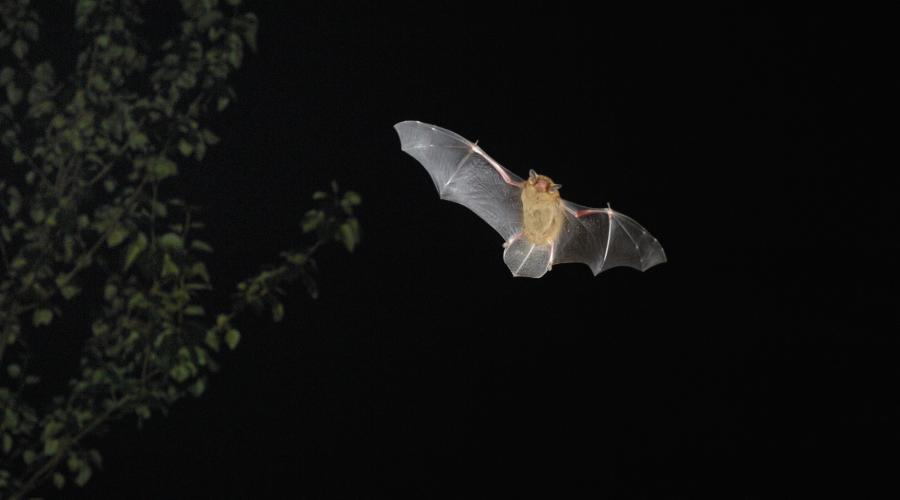Common Pipistrelle Bat. ©Laurie Campbell. For information on reproduction rights contact the Scottish Natural Heritage Image Library on Tel. 01738 444177 or www.nature.scot