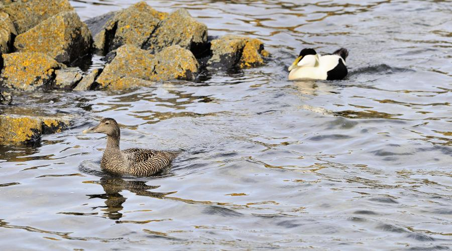 Male and female eider ducks (Somateria mollissima) . ©Lorne Gill. For information on reproduction rights contact the Scottish Natural Heritage Image Library on Tel. 01738 444177 or www.nature.scot