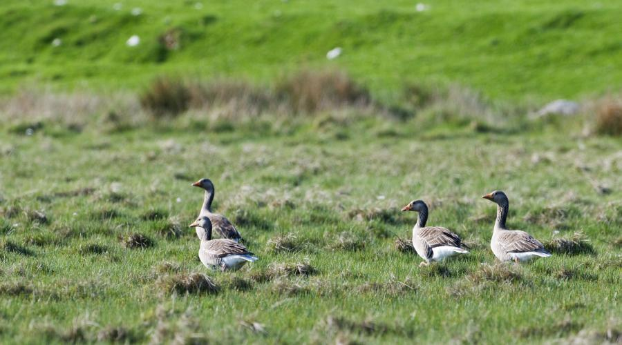 Greylag geese grazing on croftland. ©Lorne Gill/SNH. For information on reproduction rights contact the Scottish Natural Heritage Image Library on Tel. 01738 444177 or www.nature.scot