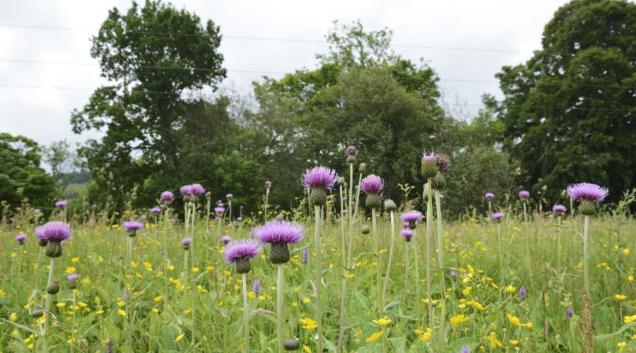 Melancholy thistle growing at Weem meadow SSSI near Aberfeldy. ©Lorne Gill/SNH. For information on reproduction rights contact the Scottish Natural Heritage Image Library on Tel. 01738 444177 or www.nature.scot