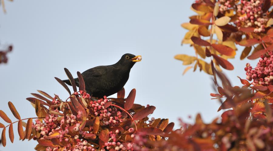 Blackbird feeding on an ornamental rowan tree. ©Lorne Gill/SNH. For information on reproduction rights contact the Scottish Natural Heritage Image Library on Tel. 01738 444177 or www.nature.scot