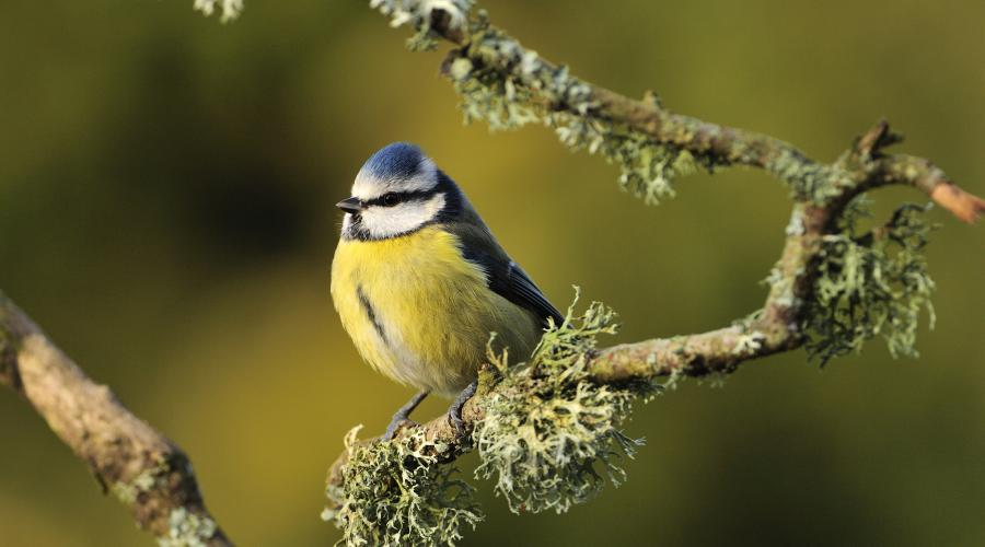 Blue tit (Cyanistes caeruleus) perching on a lichen covered branch. ©Lorne Gill/SNH. For information on reproduction rights contact the Scottish Natural Heritage Image Library on Tel. 01738 444177 or www.nature.scot