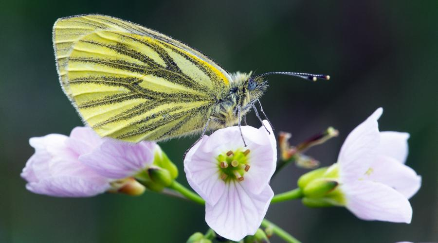 Green-veined White (Peiris napi) butterfly resting on a cuckoo flower. ©Laurie Campbell/SNH. For information on reproduction rights contact the SNH Image Library on Tel. 01738 444177 or www.nature.scot