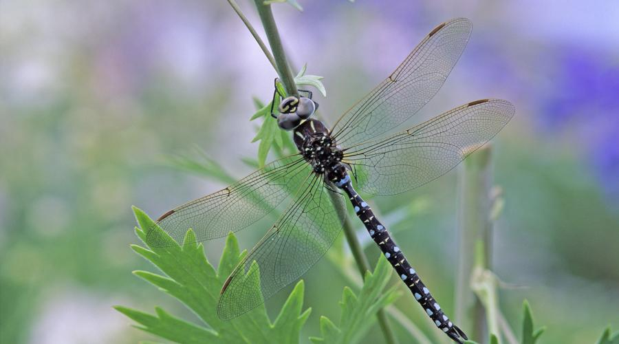 Common Hawker dragonfly (Aeshna juncea). ©Lorne Gill/SNH. For information on reproduction rights contact the Scottish Natural Heritage Image Library on Tel. 01738 444177 or www.nature.scot