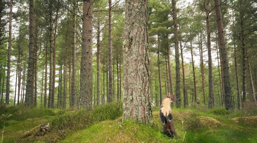 Forest and Wildlife Crime - pine marten