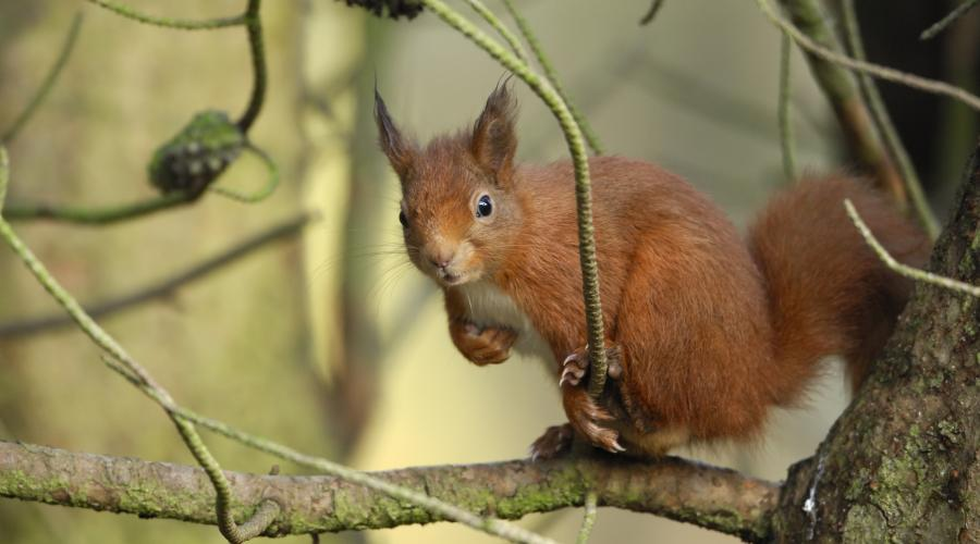 Red Squirrel (Sciurus vulgaris) feeding from a peanut feeder