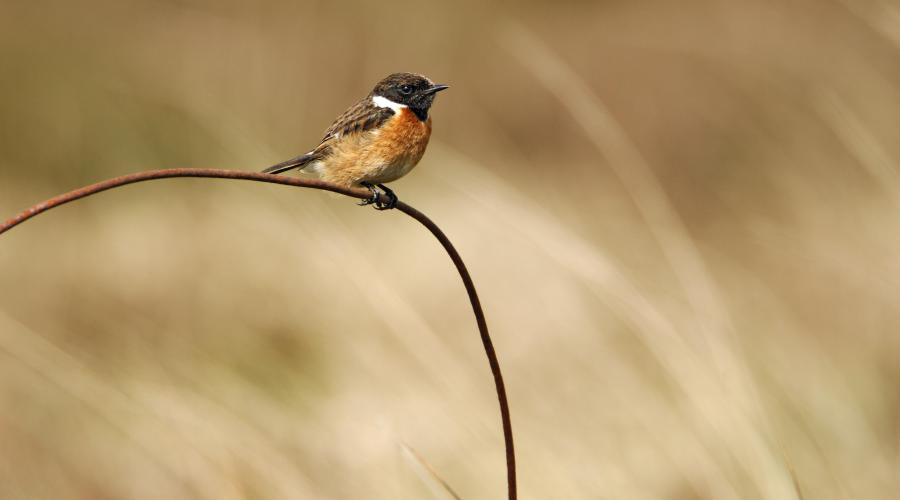 Male Stonechat (Saxicola torquata) ©Lorne Gill/SNH. For information on reproduction rights contact the Scottish Natural Heritage Image Library on Tel. 01738 444177 or www.nature.scot