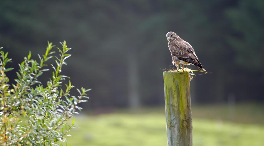 Common Buzzard (Buteo buteo). ©Lorne Gill/SNH. For information on reproduction rights contact the Scottish Natural Heritage Image Library on Tel. 01738 444177 or www.nature.scot