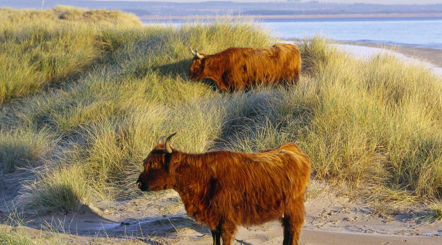 Highland cattle among the dunes