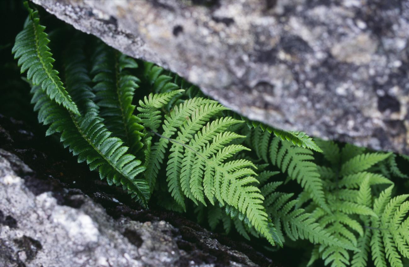 Ferns Scottish Natural Heritage