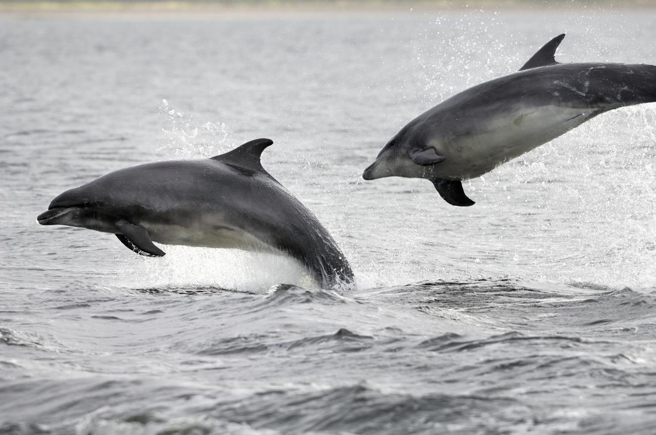 Dolphins, whales and porpoises | Scottish Natural Heritage