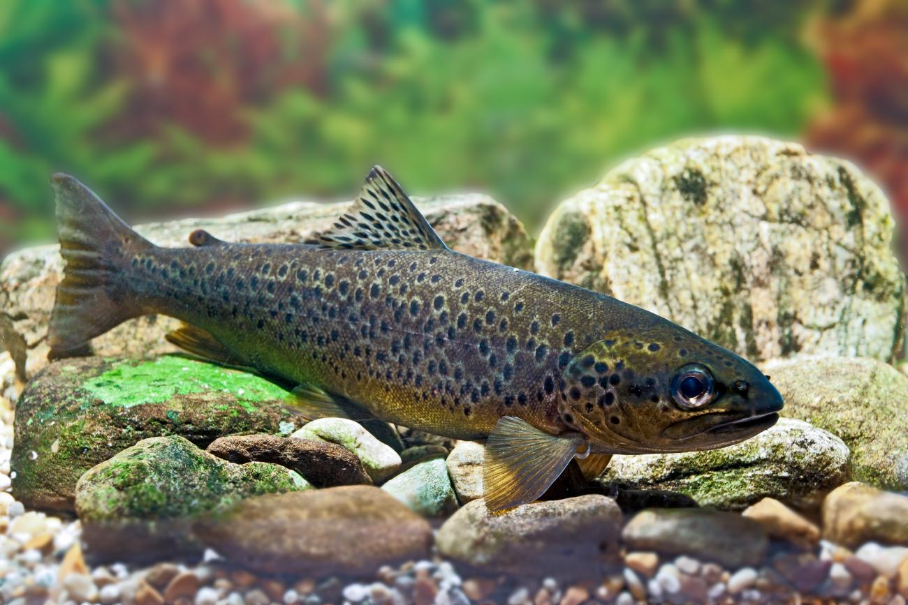 new product 573e7 fa7cd Brown trout   Scottish Natural Heritage