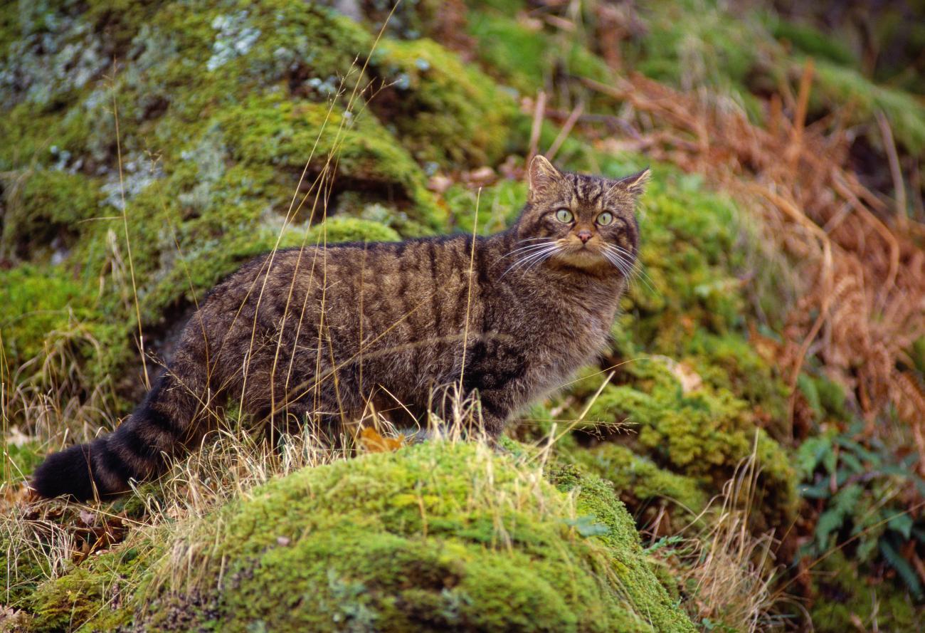 Wildcats And Licensing Naturescot