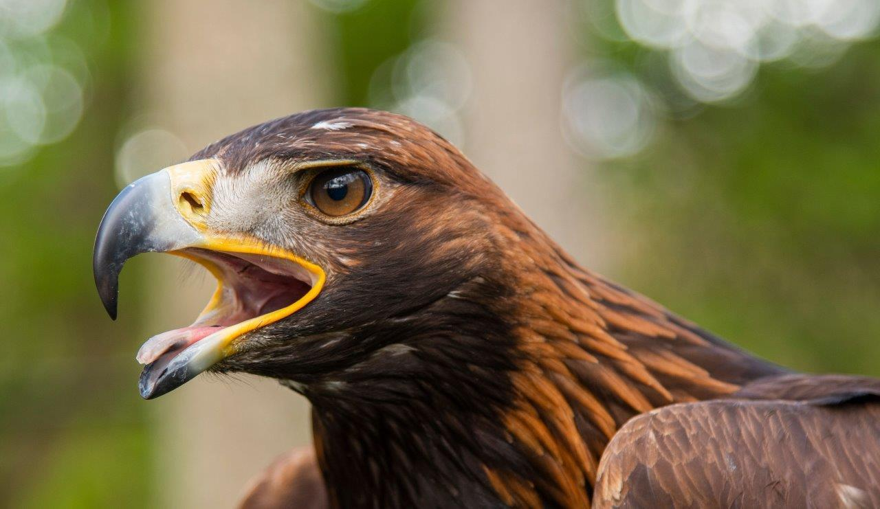 10 000 People Take Golden Eagles Under Their Wings In Support Of Groundbreaking Conservation Project Naturescot