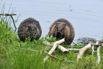 Beavers. Aigas Field Studies Centre. ©Laurie Campbell. For information on reproduction rights contact the Scottish Natural Heritage Image Library on Tel. 01738 444177 or www.nature.scot