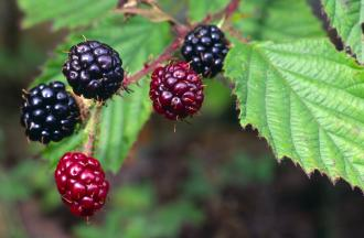 Bramble or Blackberry fruits. ©Lorne Gill/SNH. For information on reproduction rights contact the Scottish Natural Heritage Image Library on Tel. 01738 444177 or www.nature.scot