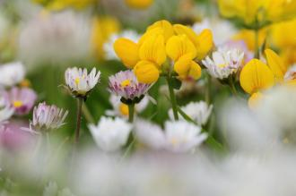 Birds foot trefoil and daisies growing on the Benbecula machair, Western Isles. ©Lorne Gill/SNH.