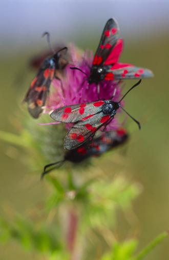 Six spot Burnet moths. ©Lorne Gill/SNH. For information on reproduction rights contact the Scottish Natural Heritage Image Library on Tel. 01738 444177 or www.nature.scot