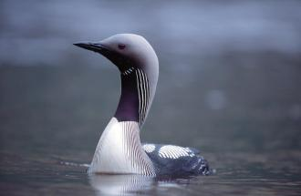Black Throated Diver. ©Laurie Campbell/SNH.