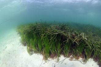 Seagrass bed, ©SNH