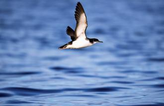 Manx Shearwater (Puffinus puffinus) off the Isle of Rum NNR.©Laurie Campbell/SNHF