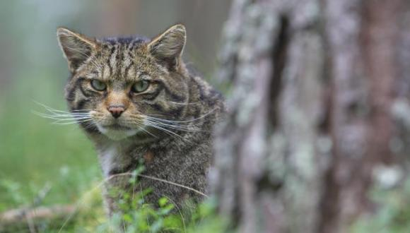 Scottish Wildcat  ©Lorne Gill/SNH. For information on reproduction rights contact the Scottish Natural Heritage Image Library on Tel. 01738 444177 or www.nature.scot
