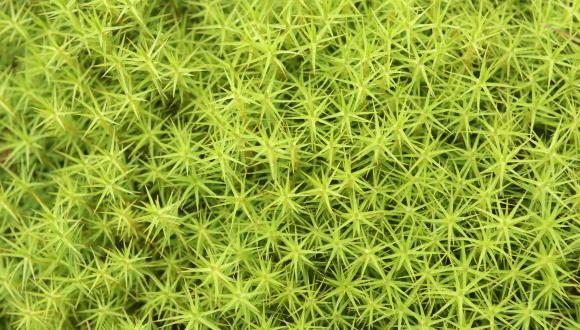 Common hair moss  (Polytrichium commune) ©Lorne Gill/SNHFor information on reproduction rights contact the Scottish Natural Heritage Image Library on Tel. 01738 444177 or www.nature.scot