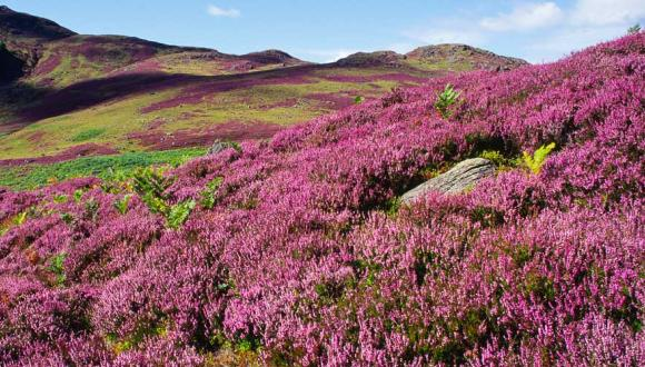 Heather moorland, Sma' Glen, Perthshire ©Lorne Gill/SNH. For information on reproduction rights contact that Scottish Natural Heritage Image Library on Tel. 01738 444177 or www.nature.scot