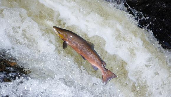 A male Atlantic Salmon (Salmo salar) leaping up a waterfall, River Almond, Tayside ©Lorne Gill/SNH . For information on reproduction rights contact the Scottish Natural Heritage Image Library on Tel. 01738 444177 or www.nature.scot