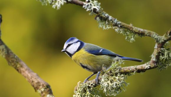 Blue tit (Cyanistes caeruleus) perching on a lichen covered branch ©Lorne Gill/SNH. For information on reproduction rights contact the Scottish Natural Heritage Image Library on Tel. 01738 444177 or www.nature.scot