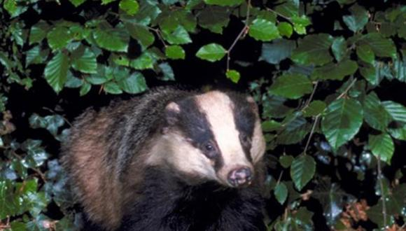Badger (Meles meles) emerging from hedge. ©Laurie Campbell. For information on reproduction rights contact the Scottish Natural Heritage Image Library on Tel. 01738 444177 or www.nature.scot