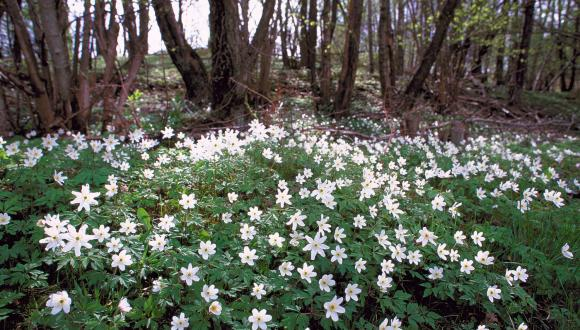 Wood anemones ©Lorne Gill/SNH. For information on reproduction rights contact the Scottish Natural Heritage Image Library on Tel. 01738 444177 or www.nature.scot