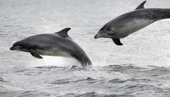 Bottlenosed Dolphins in the Moray Firth. ©Lorne Gill/SNH. For copyright advice contact the Scottish Natural Heritage Image Library: Tel 01738 444177 www.nature.scot
