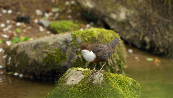 Dipper with a beakful of insects ©Lorne Gill/SNH. For information on reproduction rights contact the Scottish Natural Heritage Image Library on Tel. 01738 444177 or www.nature.scot