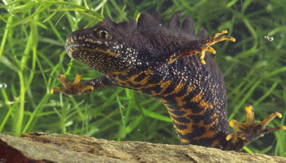 A male Great crested newt (Triturus cristatus) in breeding condition ©Lorne Gill/SNH. For information on reproduction rights contact the Scottish Natural Heritage Image Library on Tel. 01738 444177 or www.nature.scot