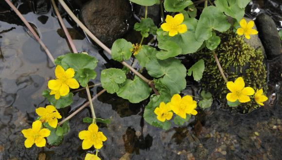 Marsh marigolds ©Lorne Gill/SNH. For information on reproduction rights contact the Scottish Natural Heritage Image Library on Tel. 01738 444177 or www.nature.scot