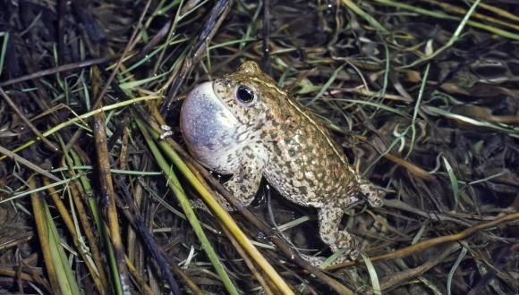 Natterjack Toad ©SNH. For information on reproduction rights contact the Scottish Natural Heritage Image Library on Tel. 01738 444177 or www.nature.scot
