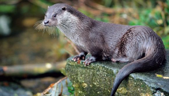 otter scottish natural heritage