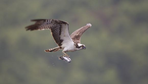 Osprey (Pandion haliaeetus) fishing at dawn, Scotland ©Peter Cairns/2020VISION.  FOR SNH WEBSITE USE ONLY, NON SNH COPYRIGHT. Contact the Scottish Natural Heritage Image Library on Tel. 01738 444177 or www.nature.scot