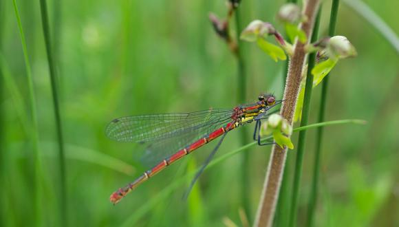 Large Red Damselfly ©Lorne Gill/SNH. For information on reproduction rights contact the Scottish Natural Heritage Image Library on Tel. 01738 444177 or www.nature.scot