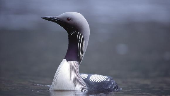 Black Throated Diver ©Laurie Campbell/SNH. For information on reproduction rights contact the Scottish Natural Heritage Image Library on Tel. 01738 444177 or www.nature.scot