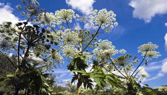 Giant Hogweed (Heracleum mantegazzianum), growing by the River Tay in Perth ©Lorne Gill/SNH. For information on reproduction rights contact the Scottish Natural Heritage Image Library on Tel. 01738 444177 or www.nature.scot