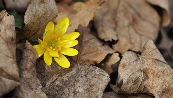 Lesser celandine (Ranunculus ficaria) and decaying oak leaves ©Lorne Gill/SNH. For information on reproduction rights contact the Scottish Natural Heritage Image Library on Tel. 01738 444177 or www.nature.scot