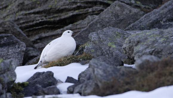 Female Ptarmigan (Lagopus mutus) in winter plumage ©Lorne Gill/SNH. For information on reproduction rights contact the Scottish Natural Heritage Image Library on Tel. 01738 444177 or www.snh.gov.uk