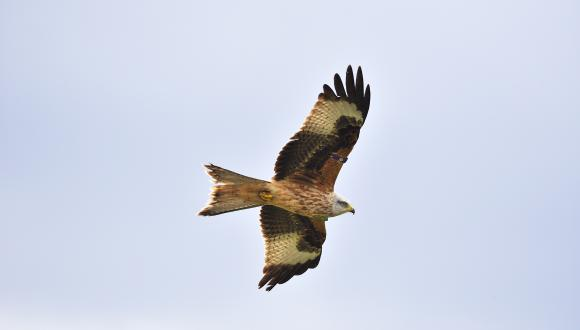 Red Kite (Milvus milvus) flying. ©Lorne Gill/SNH. For information on reproduction rights contact the Scottish Natural Heritage Image Library on Tel. 01738 444177 or www.nature.scot