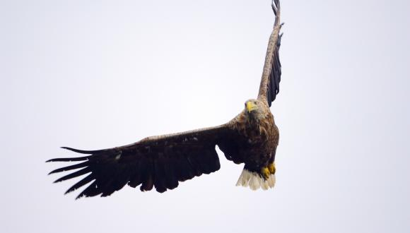 Adult White-tailed eagle (Haliaeetus albicilla) in flight ©Lorne Gill. For information on reproduction rights contact the Scottish Natural Heritage Image Library on Tel. 01738 444177 or www.nature.scot