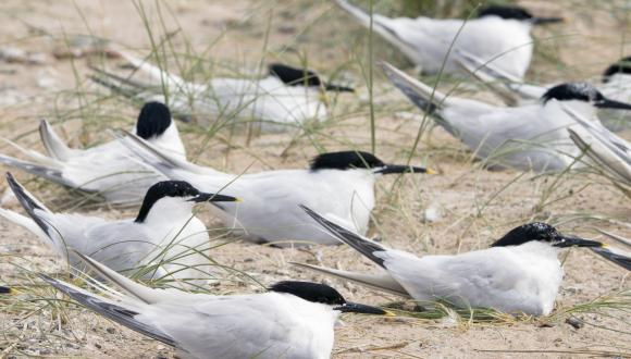 Sandwich Terns (Sterna sandvicensis) at Sands of Forvie NNR ©Lorne Gill/SNH. For information on reproduction rights contact the Scottish Natural Heritage Image Libary on tel. 01738 444177 or www.nature.scot